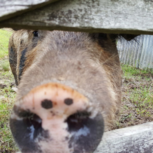 pig-fence-small
